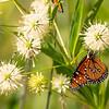 Queen butterfly, Danaus gilippus, 2021 Monsoons, Pima County, Arizona