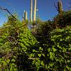 2021 Monsoons in the Sonoran Desert, Saguaros and I. cristulata, Pima County, Arizona