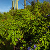 2021 Monsoons in the Sonoran Desert, Ipomoea hederacea, Pima County, Arizona