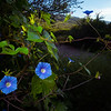 Ipomoea hederacea, ivy-leaved morning glory, 2021 Monsoons in Sonora, Pima County, Arizona