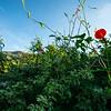 Ipomoea cristulata, Trans-Pecos Morning-Glory, 2021 Monsoons, Pima County, Arizona