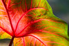 Backlit caladium