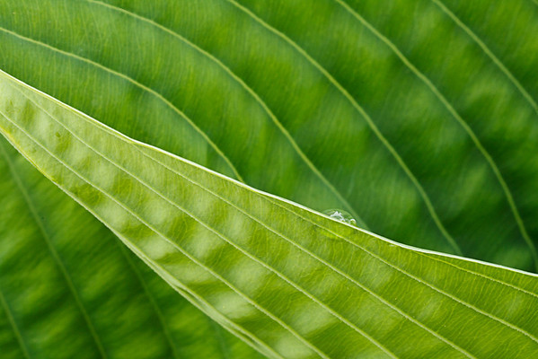 hosta leaf patterns