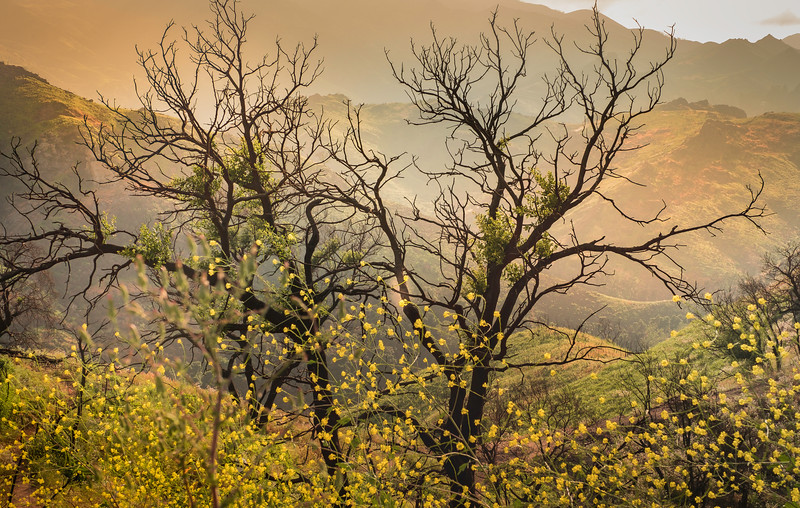 Oak Tree and Mustard, April 27