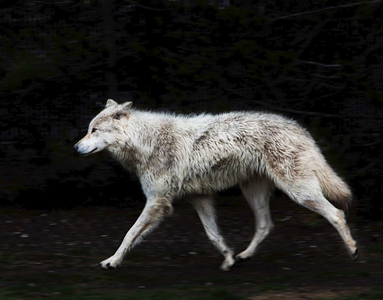 Wolves are a profound intelligence on the planet.