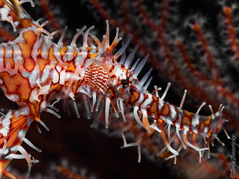 Ghost pipefish