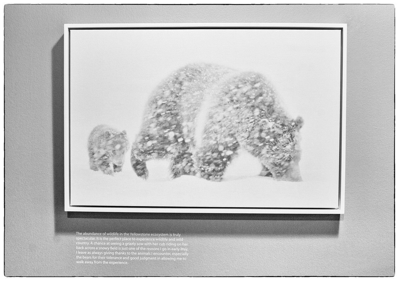 Grizzly sow and cub of the years in snow