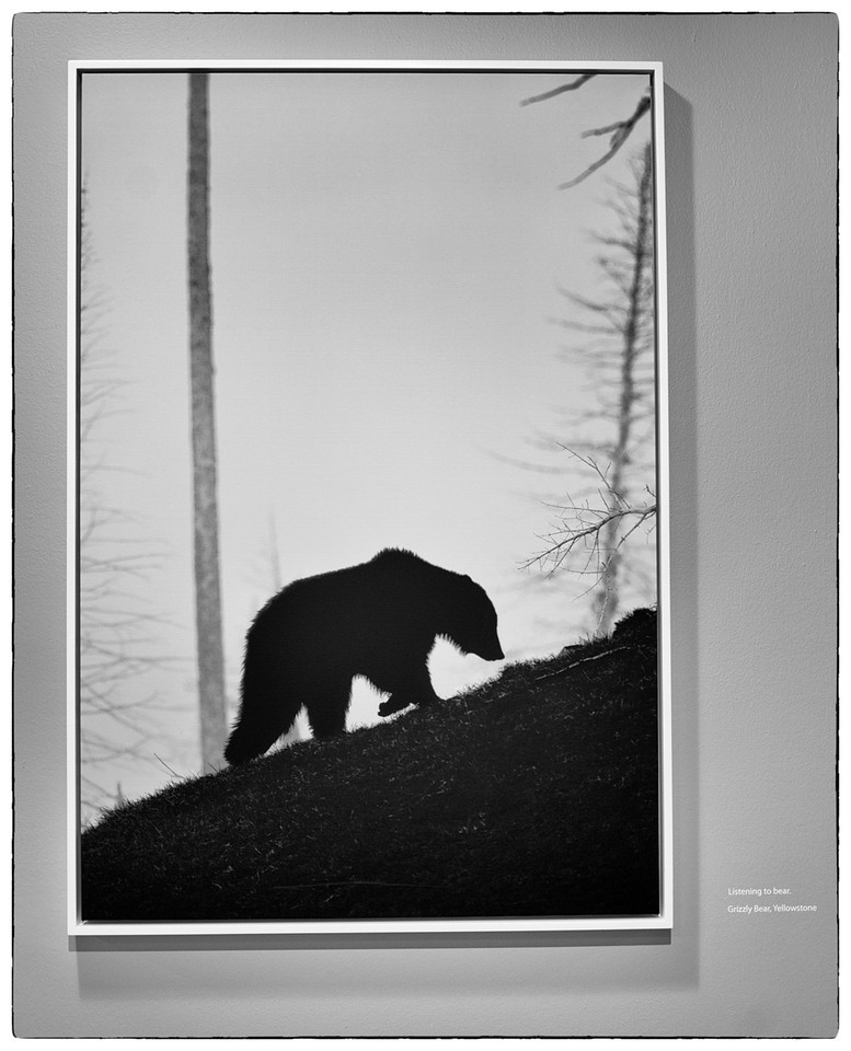Listening to bear