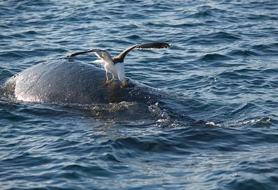 Gaviota atacando el lomo de una ballena franca austral