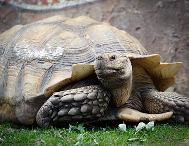 Tortoise, Cheyenne Mountain Zoo, Colorado Springs, Colorado