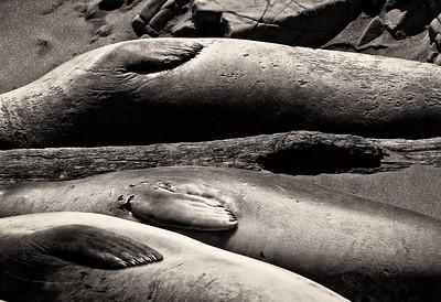 Elephant Seals, Piedras Blancas Elephant Seal Rookery, San Simeon, California