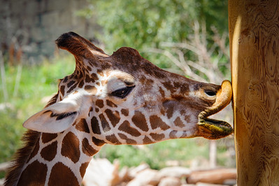 Giraffe and Pole