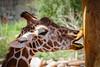 Giraffe and Pole