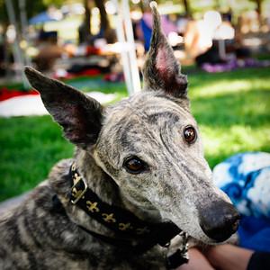 Alert Greyhound