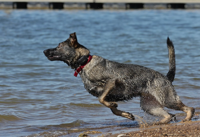 Dog going after a thrown stick