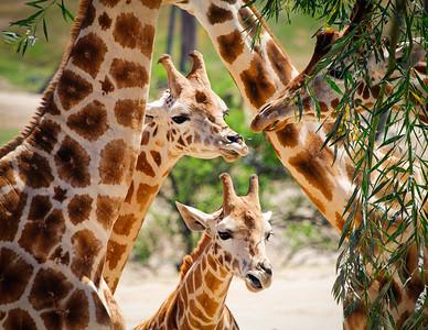 A Gaggle of Giraffes
