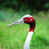 Sarus Crane, Cheyenne Mountain Zoo, Colorado Springs, Colorado