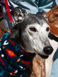 Greyhound Faces