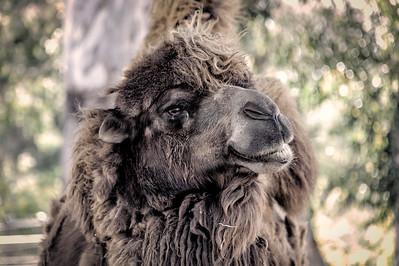 Contemplative Camel - San Diego Zoo - April 2013