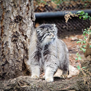 Pallas Cat, Cheyenne Mountain Zoo, Colorado Springs, Colorado
