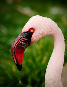 Flamingo Water Droplet
