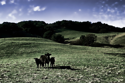 Atomic Cows (Atom Heart Mother Series)