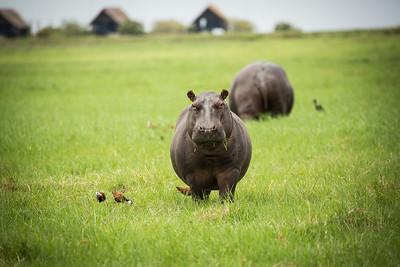 Baby Hippo | Botswana