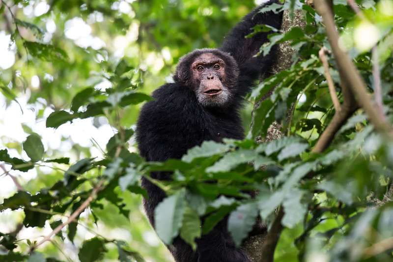 Chimpanzee | Virunga National Park
