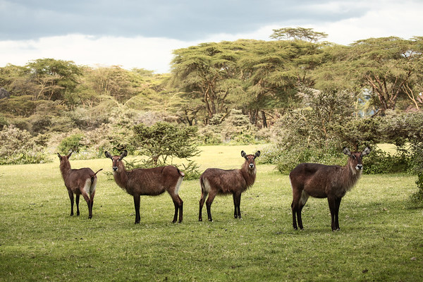 Group of Waterbuck