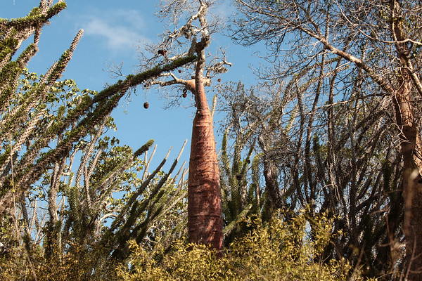 Baobab in the Spiny Forest