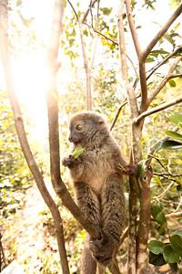 Lesser Bamboo Lemur