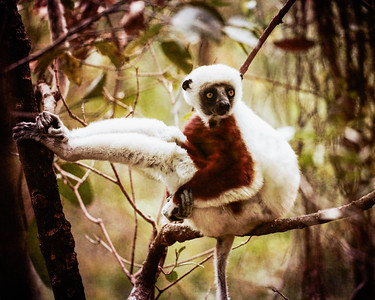 Coqueral's Sifaka