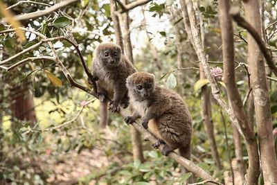 Lesser Bamboo Lemurs