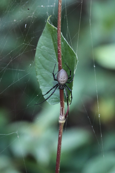 Gray and Black Spider