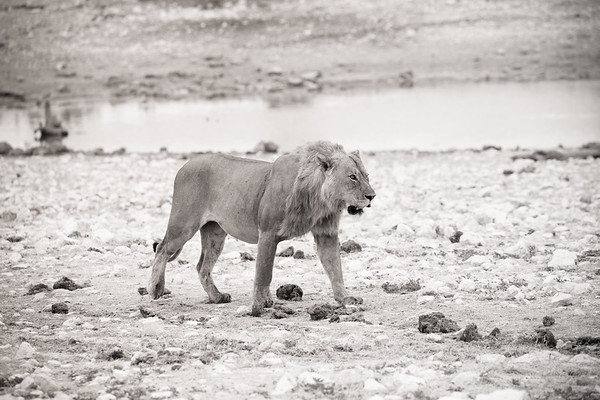 Lion at the Waterhole