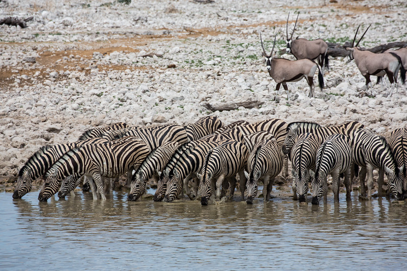 Zebras at the Waterhole