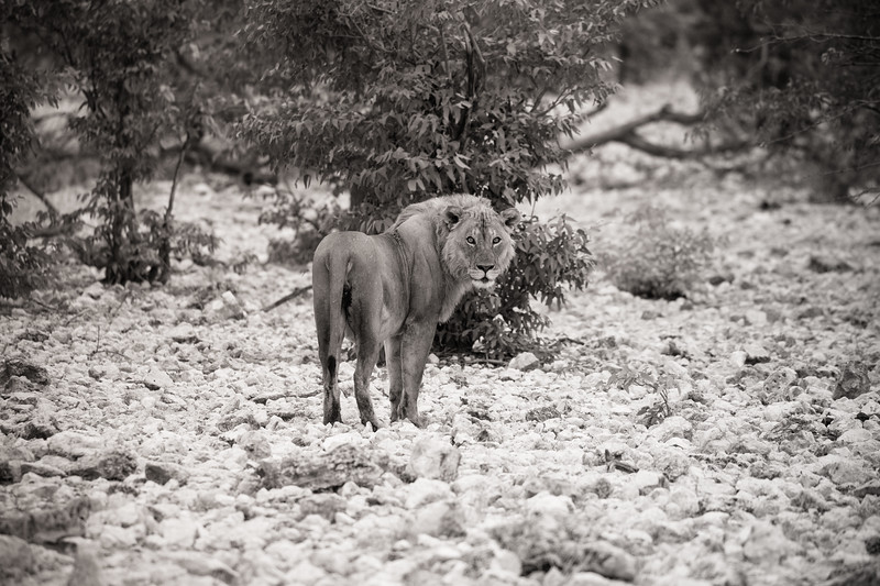 Lion in Namibia