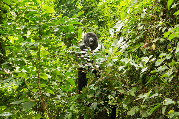Young Energetic Mountain Gorilla