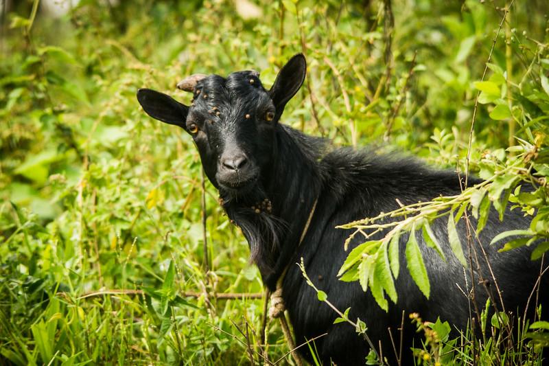 A Goat says Hi!
