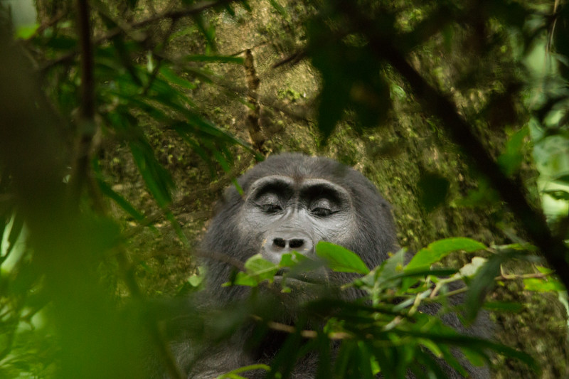 Resting Mountain Gorilla