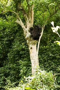 Mountain Gorillas up in the trees