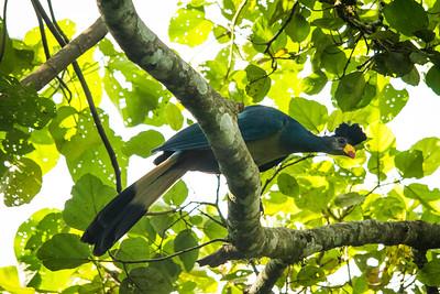 Great Blue Turaco - Corythaeola cristata