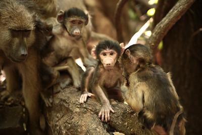 Newborn Baboons