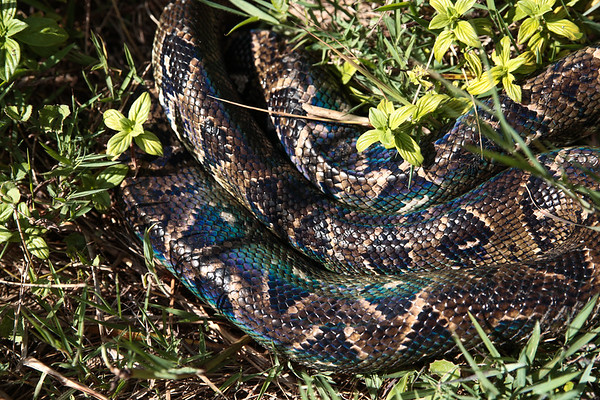 Large Boa Constrictor