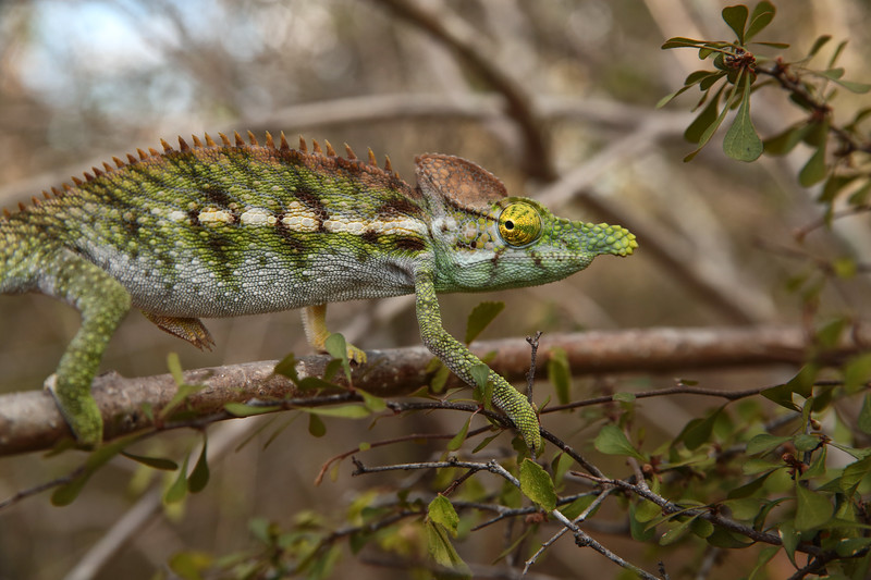 Newly-discovered species of chameleon