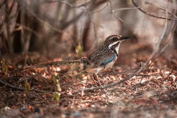Long-tail Ground Roller