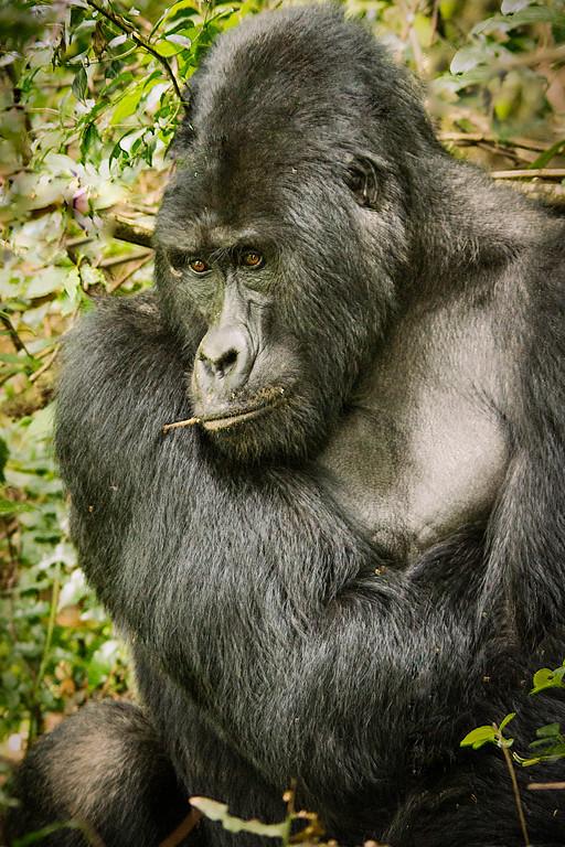 uganda : gorillas in the mist