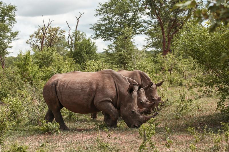 Three Endangered Rhinos
