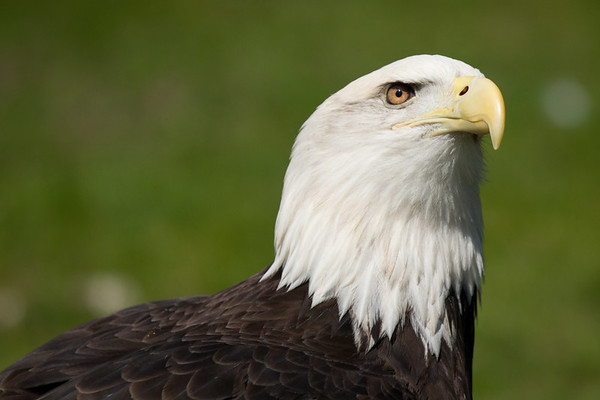 { portrait of an eagle }