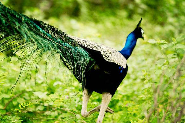 Wild peacock